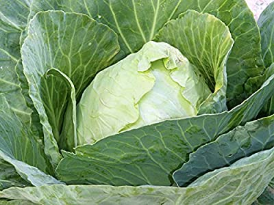 100 Early Jersey Wakefield Cabbage Seeds