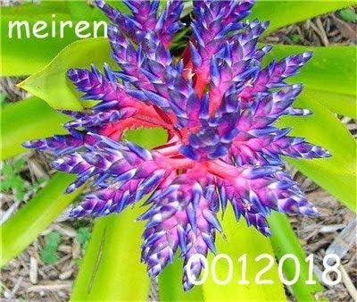Pinkdose 100 pcs Bonsai Plantas de Bromelias Raras Vegetales y Frutas Jardín Plantas Suculentas Mini Macetas de Cactus Arco Iris Niños Bonsai Flor: 11: Amazon.es: Jardín