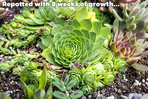 Fractal Succulents (20 Pack) Live Sempervivum Houseleek Succulent Rooted in Pots | Flowering Plant Leaves / Geometric Rosettes by Plants for Pets by Plants for Pets (Image #4)