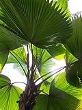 fan palm - 1 4