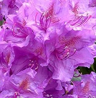 Rhododendron obtusum Japanische Azalee Maischnee® 25-30cm Zwerg Alpenrose