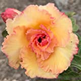 Rare Adenium Obesum, Double Flower, Grafted Mature Plant, Easy Care, Desert Rose Plant, New Hybrids, Not Just Seeds (63 Tong Lhung Pra)