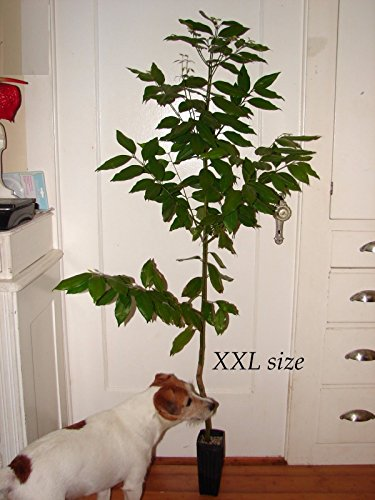 ~Ceylon CINNAMON Tree~ LIVE SPICE TREE Cinnamomum zeylanicum Sml Potted 3 Plants by 7_heads (Image #1)
