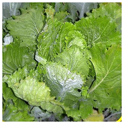 Everwilde Farms - 1 Lb Michihili Chinese Cabbage Seeds - Gold Vault