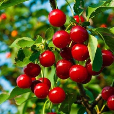 Lapins Cherry Tree - 5-6 Feet Tall in 3 Gallon Pots by Brighter Blooms (Image #1)