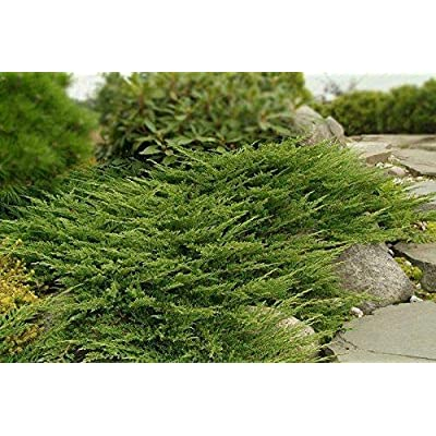 Prince of Wales Juniper Qty 30 Live Plants Evergreen Ground Cover : Garden & Outdoor