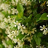 Perfect Plants Confederate Jasmine Live