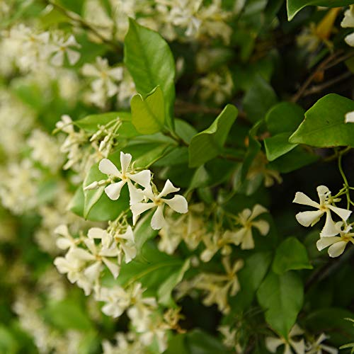 Perfect Plants Confederate Jasmine Live Plant, 1 Gallon, Includes Care Guide by PERFECT PLANTS (Image #1)