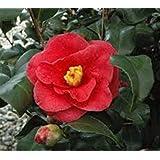 Greensboro Red Camellia Japonica - Live Plant - Quart Pot