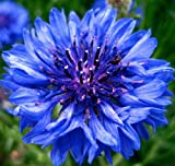 Earthcare Seeds Cornflower Tall Blue Heirloom Bachelors Button 1000 Seeds Centaurea Cyanus