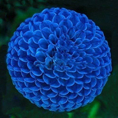 Dreamy hut ドリーミー・ハット 100粒 青いダリアの種子 ガーデンの装飾 植物の種 花 有機 観葉植物 園芸 高い発芽率 咲く