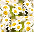 ~ BULK ~ PYRETHRUM DAISY SEEDS - PYRETHRUM Used To KILL BUGS INSECTS ~ NATURAL MOSQUITO REPELLENT - Zone 4 - 9