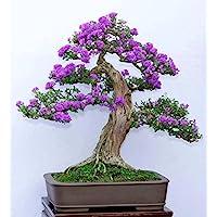 15 Semillas Syringa vulgaris (lila púrpura Común Árbol) Bonsai