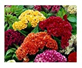 David's Garden Seeds Flower Celosia Chief Mix SL105A (Multi) 100 Open Pollinated Seeds
