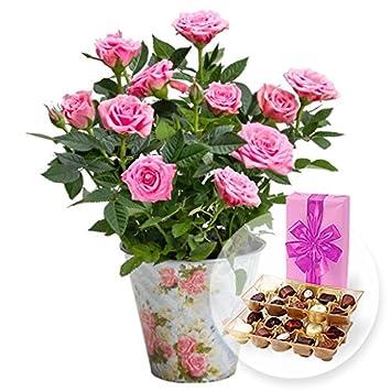Romántico rosa Rose Nostalgie - Olla y bombones Belgas: Amazon.es: Jardín