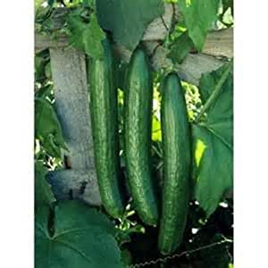 20 Seeds Early Spring burpless Cucumber new seeds for 2016 Non-GMO Hybrid