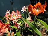 A Lot of 12 Amaryllis offset bulbs from Garden Variety Hippeastrum Plant Lily
