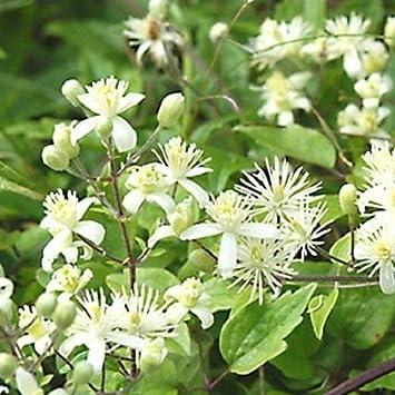 3 Clematis Vitalba (Waldrebe): 3 kaufen / 2 bezahlen - Weiß und ...