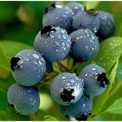 18-24 BLUERAY Blueberry Bush : Garden & Outdoor