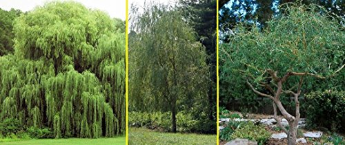 Willow Tree Bundle - 10 Fast Growing Aussie Willow Trees + 4 Weeping Willow Trees + 2 Corkscrew Willow Tree - Ready to Plant - Indoor/Outdoor Live Tree Plants - - Willow Plant Tree