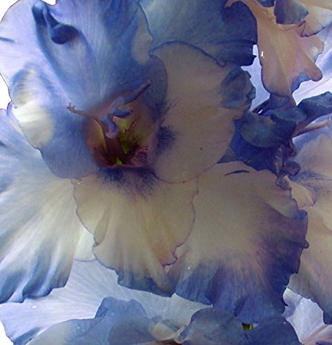 Gladiolus Mix - (20) Beautiful Flowering Perennials, Sword Lily, Gladiolus Bulbs/Corms, Blue Blends Mix - clarence