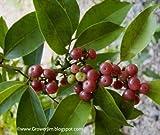 Glycosmis pentaphylla (Ginberry, Orangeberry)- Plants/ 5 seedlings by VioletSeeds