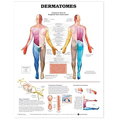 Dermatomes Anatomical Chart: Anatomical Chart Company: Industrial & Scientific