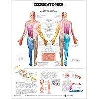 Anatomical Chart Dermatomes
