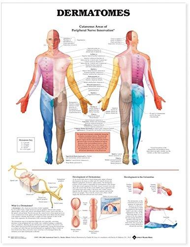Dermatomes Anatomical Chart by Anatomical Chart Company