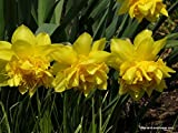 200 DELUXE DOUBLE DAFFODIL FLOWER BULBS (NARCISSUS PSEUDONARCISSUS)