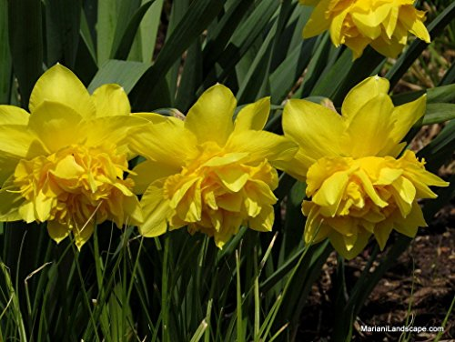 200 DELUXE DOUBLE DAFFODIL FLOWER BULBS (NARCISSUS PSEUDONARCISSUS) by buhler_sells