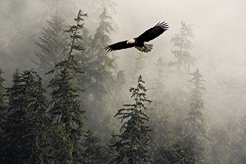 Posterazzi Bald Eagle Soaring In Flight Through Misty Tongass Nat Forest Se Alaska Summer Composite Poster Print (34 x 22)