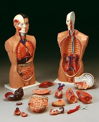 Anatomical Chart Company Tall Paul Torso Model: Human Anatomical ...