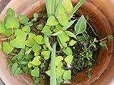 Assorted Aquatic plants, No bowl or soil....all the plants similar