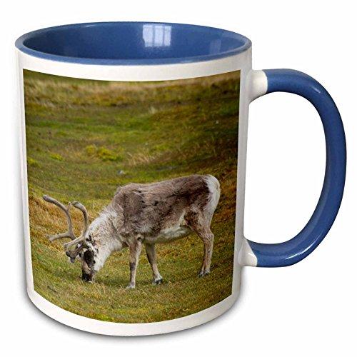 (3dRose Danita Delimont - Deer - Norway. Svalbard. Bellsund. Camp Millar. Svalbard reindeer grazing. - 15oz Two-Tone Blue Mug (mug_227764_11))