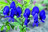1 Root Aconitum~Spark's Variety~Monkshood Shade Plant Dark Blue Flowers Deer Resistant