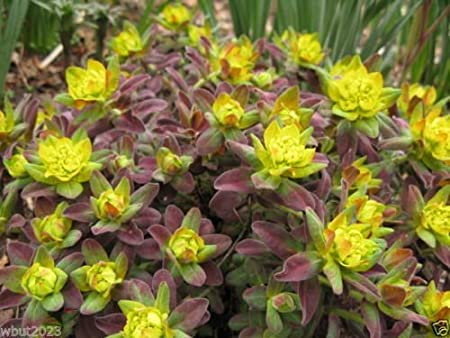 Amazon Com 20 Euphorbia Polychroma Bonfire Seed An Attractive