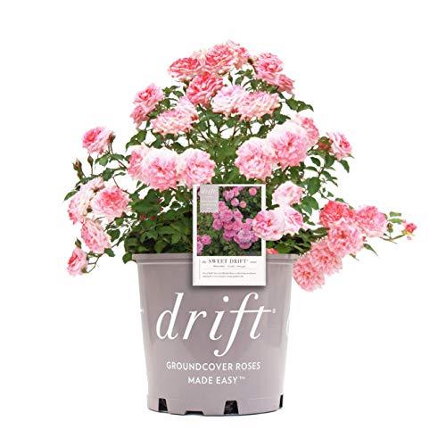 Star Roses Sweet Drift Groundcover Rose - Rose Drift Sweet - 19cm ()