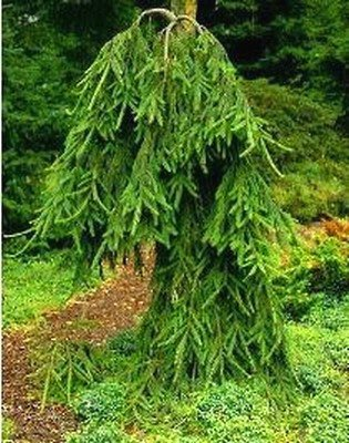 Weeping Norway Spruce Frohburg 2