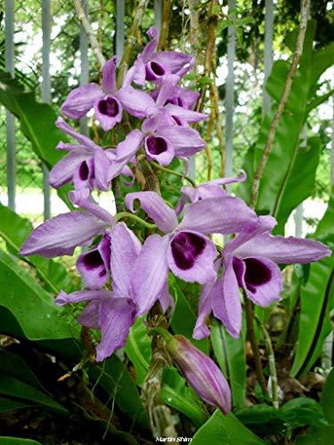 - Dendrobium anosum (Hono Hono) Parishii 'NN', Orchid Plant