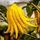 """Buddha's Hand Citrus Tree - Indoors/Out - No Ship TX,FL,AZ,CA,LA,HI - 5"""" Pot"""