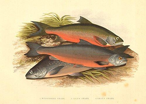 FISH:Windermere Cole's Gray's Charr(Salmo willughbii,colii,grayi)-Houghton, 1879