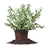BECKYBLUE BLUEBERRY - Size: 2-3 ft, live plant, includes special blend fertilizer & planting guide