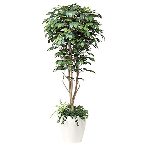 光の楽園:(508A450-22)フィカスベンジャミン1.8植栽付 92349 B01LPCAPFQ