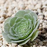 10pcs/Bag Aeonium Tabulaeforme Aeonium Urbicum Meaty Plant Seeds Office Of Miniature Bonsai