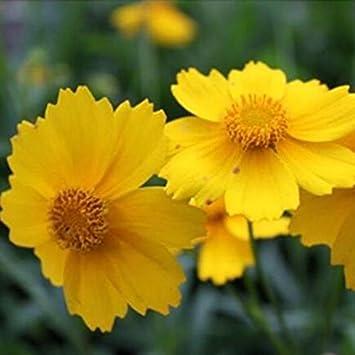 Livraison Gratuite 50 Marguerite Jaune Jaune Cineraria Facile Fleur
