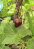 10 Jostaberry Seeds Fresh Grown & Harvested