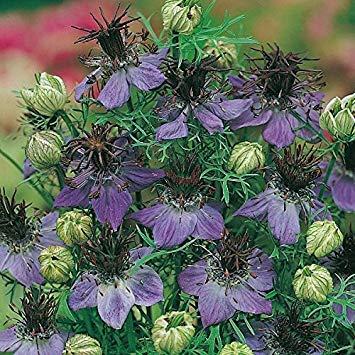 Fennel Flower - Nigella hispanica - 2000 Seeds