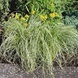 (10 Count Flat of 1 Quart Pots) Sedge Grass, Carex Comans 'Amazon Mist' Tm (Perennial) Weeping, Frosted Blue Foliage, Compact and Grows in Clumps
