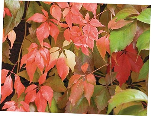 QIO Plants 5 Virginia Creeper Plant Perennial Live Rooted cuttings Ground Cover Hardy Vine - RK25